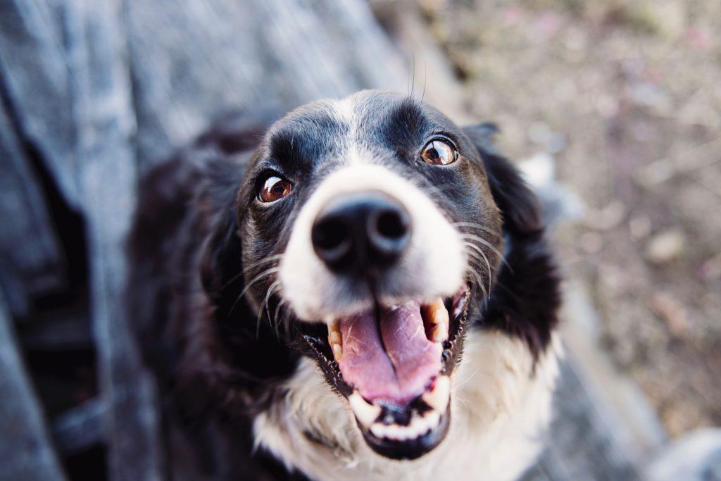 La higiene dental en perros