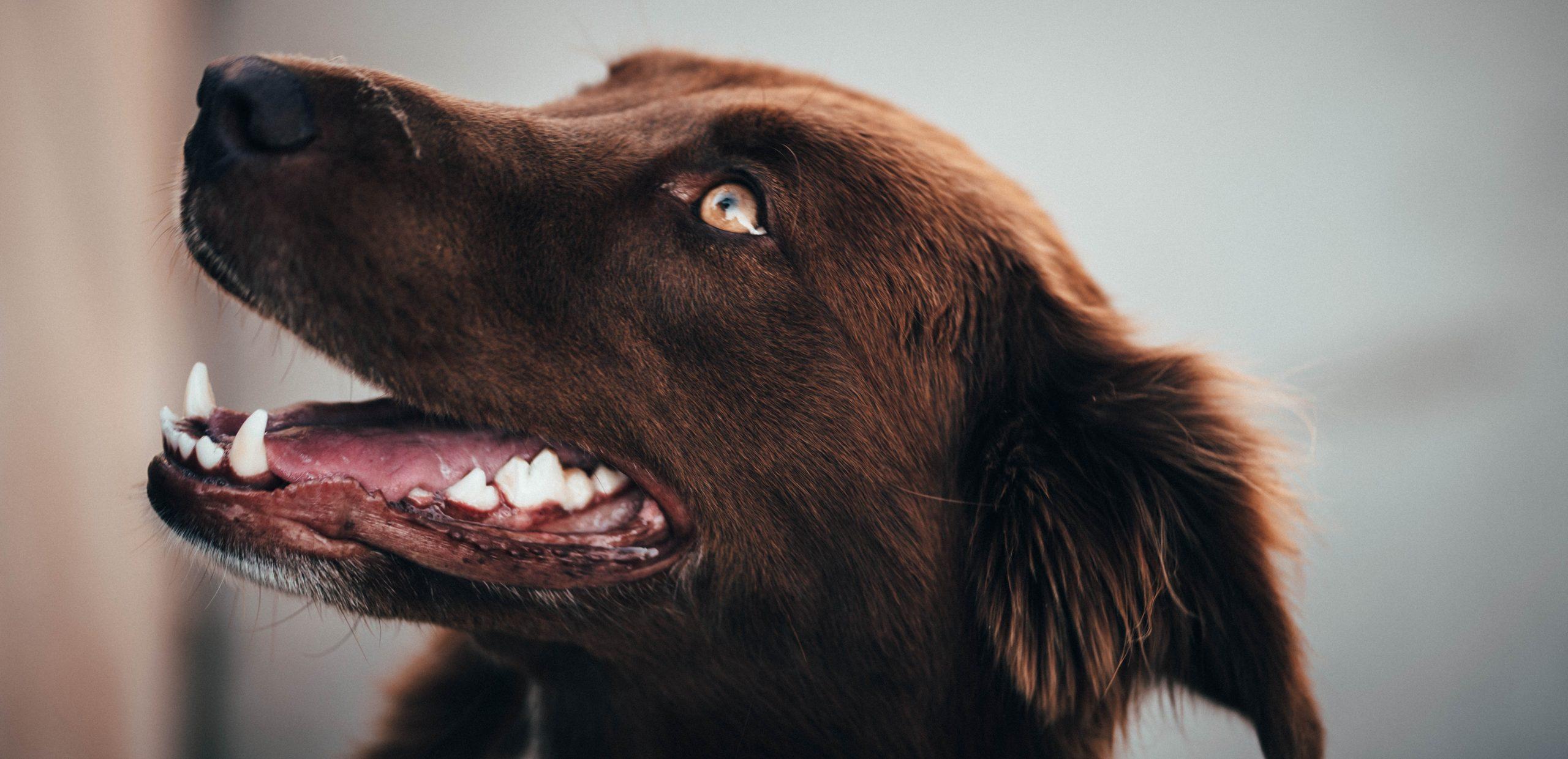 Las enfermedades bucales más comunes en perros