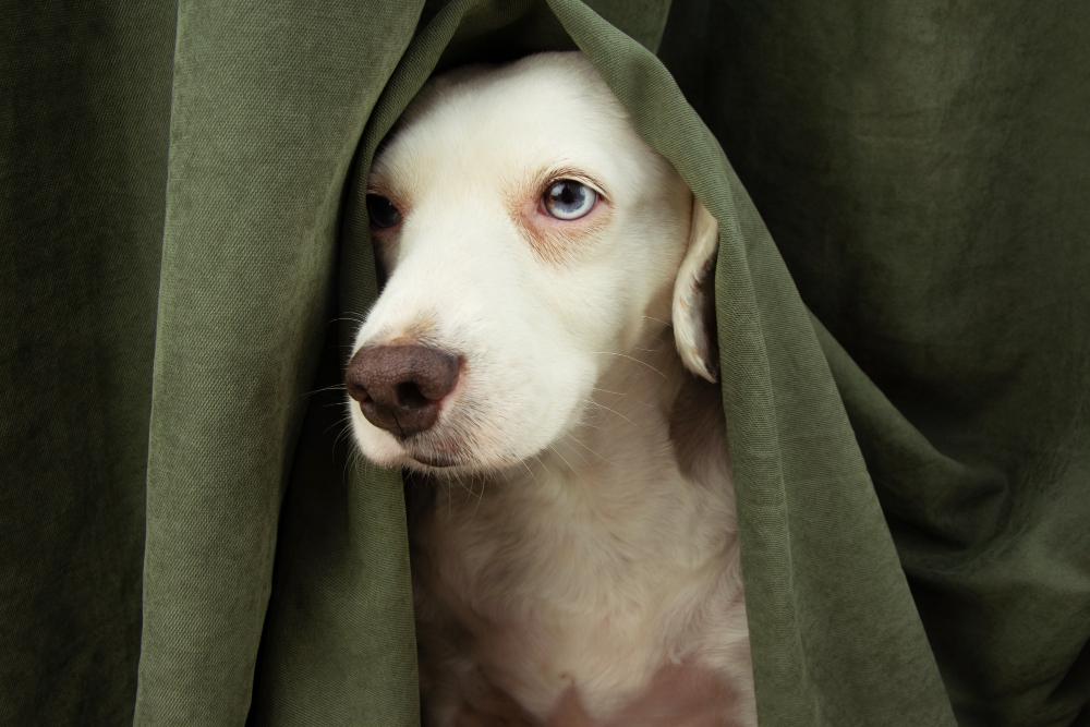 perro no asuste con petardos